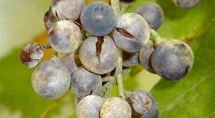 You are currently viewing After frosts, Champagne harvest threatened by rain and mildew fungus